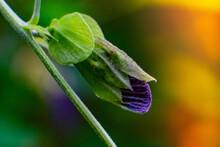 Purple Blue Tea Flower Macro