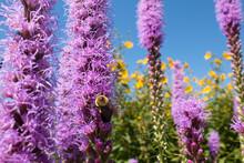 Bumble Bee Pollinates Prairie Blazing Star Wildflowers In A Summer Prairie Garden
