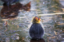 A Coot With A Chick In A Park, Ziegeleipark Heilbronn, Germany, Europe -