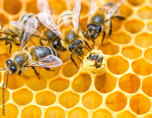Obraz na płótnie Nurse bees gather around a new honey bee (Apis mellifera) which has just broken through the wax capping atop its brood cell