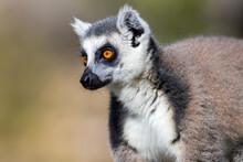 Lemur Portrait In The Wild