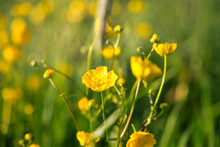 Closeup Shot Of Beautiful Yellow Rapeseed Or Brassica Napus Flowers