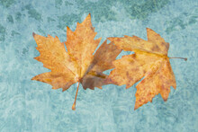 Two Yellow, Autumnal, Maple Leaves Float Alone In The Blue Water Of The Fountain. .Close-up Image.