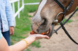 Close up view of woman hand stretched out to horse muzzle for feeding.