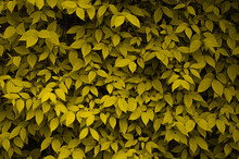 Background Of Thick Yellow Leaves