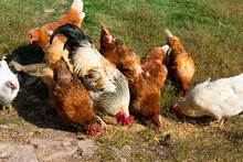 Flock Of Domestic Hens And Rooster Grazing On Countryside Farmyard. Poultry Feeding