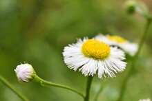 Daisy Fleabane Wildflower (Erigeron Strigosus) In Bloom