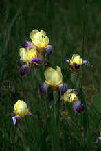 A Bright, Luxurious Iris Bush. The Flower Is Decorative, Bright And Original.On A Green Background, Gentle, Spring Wild Flowers.