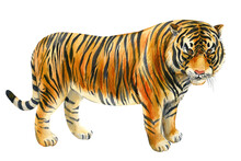 Tiger On An Isolated White Background. Watercolor Illustration, Cute Animal