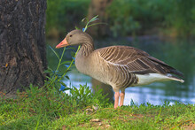 A Fat Domestic Goose Walks On Bright Green Grass Between Large Trees And Examines Food On The Ground. Goose In Profile Against The Background Of A Blue River. Open Farm In The Countryside.