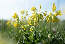 Cowslip Flowers Growing On A Meadow During Spring. Cowslips.