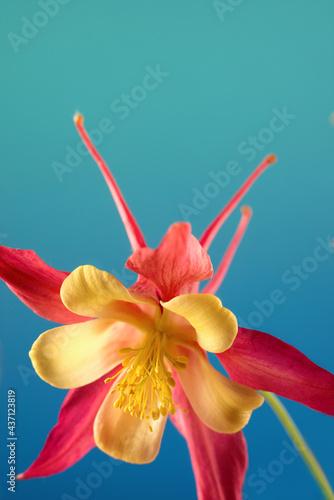 Foto Beautiful Aquilegia glandulosa against dark background