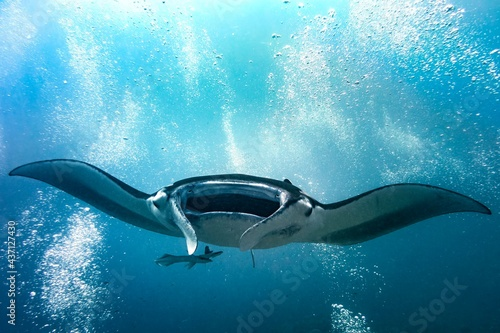 Fototapeta Diving with Manta ray in the middle of scuba divers bubbles in blue water
