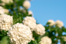 White Inflorescences Of Blooming Decorative Viburnum On The Blue Sky Background.Natural Floral Background.Copy Space,selective Focus With Shallow Depth Of Field.