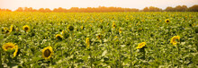 Sunflower Field On A Summer Sunny Day Against The Blue Sky. Vegetable Raw Materials For The Production Of Sunflower Vegetable Oil. Ukraine.