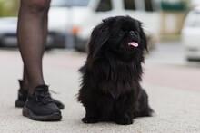 Black Indoor Decorative Dog Of Breed Pekingese. Background With Copy Space