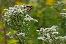 Two Monarch Butterflies In A Field Of White Flowers