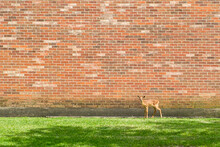Young White-tailed Deer Standing Against Brick Wall