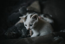Shallow Focus Shot Of A White Kitten With Blue Eyes