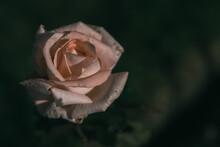 Rose On Vintage Style; Nature Background
