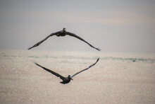 Two Pelicans Flying Almost Perfectly In Sync, At The Inlet In Fort Pierce, Florida.