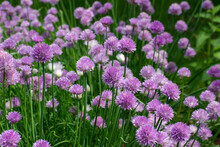Full Frame Texture Background View Of A Field Of Fresh Blooming Chive Flowers (allium Schoenoprasum) With Purple And Pink Blossoms And Edible Green Leaves