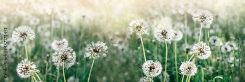 Tela Summer banner with blooming white dandelion flowers on a green summer meadow