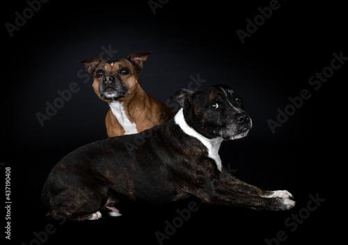 Obraz na płótnie staffordshire bull terriers