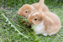 Two Small Dwarf Rabbits Eating Grass