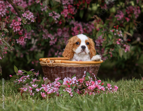 Fotografering dog cavalier king charles spaniel puppy in a basket on the road near a blossomin