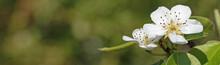 Fleurs De Poirier Au Printemps