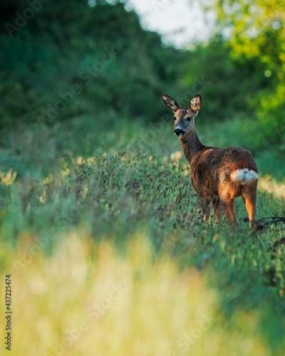 Fotografie, Obraz deer in the grass