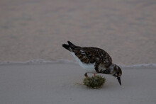 Western Sandpiper (Calidris Mauri) Western Sandpiper On The Grey Sand Sea Shore With A Small Wave In The Background