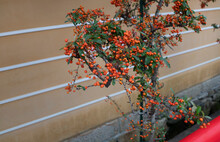 Orange Color Fruit Pyracantha Tree