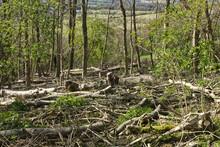 Ash Trees Felled Due To Disease.