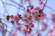 Prunus Sargentii Accolade Sargent Cherry Flowering Tree Branches, Beautiful Groups Light Pink Petal Flowers In Bloom And Buds