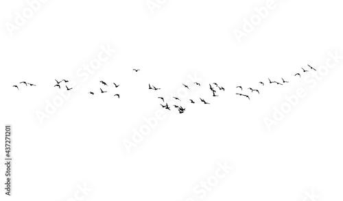 Fotografija Flying birds. Vector images. White backgorund.