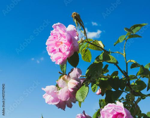 Tela Rosa Damascena
