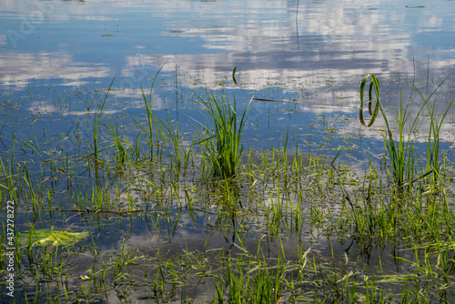 Obraz na plátně In the park by the lake grows water sedge grass (Carex flava aquatilis) with a reflection of the sky in the water