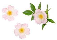 The Flowers Of Briar Isolated On White, Top View