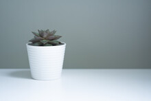 Succulent Plant In A Pot On A Wall Background, Copyspace