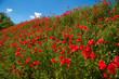Mohnblumenblüte im Elsass