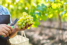 Asian Farm Farmer Harvesting Organic Fresh Ripe Green Grapes Checking For Quality In Vineyard.