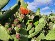 Closeup Shot Of Beautiful Eastern Prickly Pear Cactus Flowers In A Garden