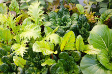 Vegetables Growing In A Vegetable Garden.