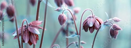 Foto Purple aquilegia, toned effect