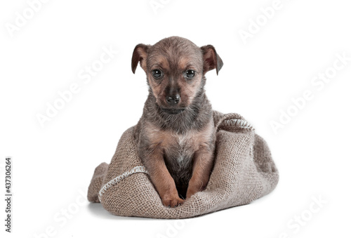 Fototapeta mongrel puppy of brown color in a sack on a white background