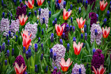 Closeup Of A Field Of Red And White Tulips With Purple, Lavender, And Grape Hyacinths Outside Of Amsterdam, Netherlands