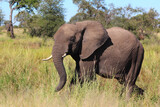 Afrikanischer Elefant / African elephant / Loxodonta africana...
