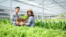 Farmer Harvesting Vegetable Organic Salad, Lettuce From Hydroponic Farm For Customers